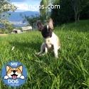 Bulldog francés hembras pied fawn de 3 m