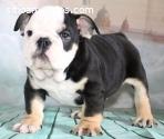 Bulldog Ingles Black Three