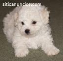 Cachorritos French Poodle Disponibles