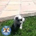 Cachorro pastor australiano merle macho