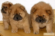 Chow Chow Cachorros Disponibles