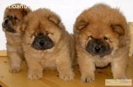 Chow Chow Cachorros En Venta