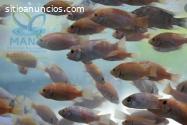 Cosecha peces en sistemas productivos