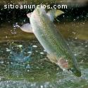 Crianza de peces con Maná