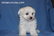 French Poodle Disponible