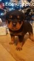 Hermosa perra de Rottweiler en venta