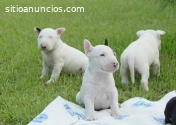 Hermosos Bull Terrier Disponibles