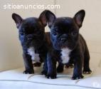 Hermosos Bulldog Frances Cachorritos