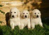 Hermosos  Cachorritos Golden Retrieve