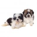 Hermosos Cachorritos Shih Tzu Disponible