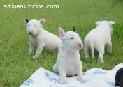Hermosos Cachorros Bull Terrier