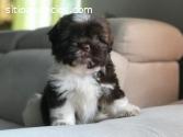 Hermosos  Cachorros Shih Tzu Disponible