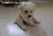 Hermosos French Poodle Disponibles