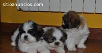 Hermosos Shih Tzu Cachorritos Disponible