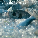 La acuicultura, negocio más rentable