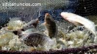 La producción de peces es un negocio