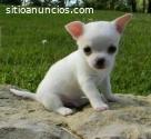 Lindos Cachorros  Chihuahua Disponibles