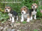 Lindos y Tiernos Beagle Disponibles