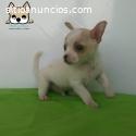 Macho chihuahua