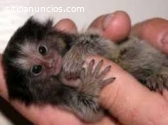 Mono tití para adopción