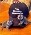 monos de marmoset macho y hembra entrena