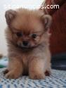 Pomerania Puppy Disponible
