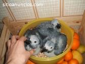 Saludable loros y loro huevos disponible