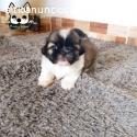 Shih tzu hembra mini whatsapp 3054688674