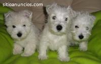 West  Higland White Terrier Cachorritos