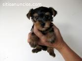 Yorkshire Terrier Cachorritos Disponible