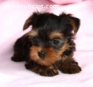 Yorkshire Terrier Miniatura Disponibles