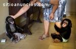 Dos bebés chimpancés para la adopción.