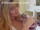 Monos capuchinos bebé ahora disponibles