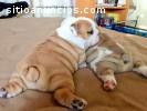 Hermosos cachorros Bulldog inglés dispon