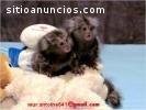 Dos monos tití