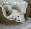 Pequeños perritos malteses para la venta
