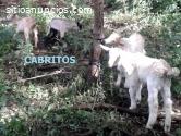 CABRAS Y CABROS DE 3 MESES DE EDAD VENDO