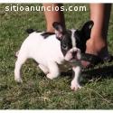 Encantador cachorro de bulldog francés