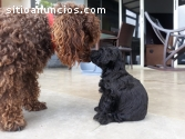 French poodle negros