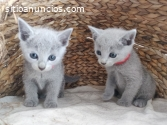 Gatitos azules rusos disponibles