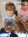 gatitos serval y caracal disponibles