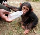 monos sanos y bien entrenados disponible