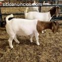 Quality Boer Goats commercial livestock