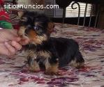 3 cachorros Yorkie Terrier en adopción