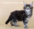 Adorable gatito del Coon de Maine