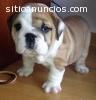 Bulldog Inglés cachorros su aprobación