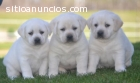 cachorros de Labrador preciosas que busc