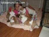 Cinco cachorros de Bulldog Inglés