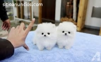 Dos adorables cachorros de Pomerania par