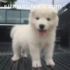 Regalo Husky siberiano lindo y adorable.